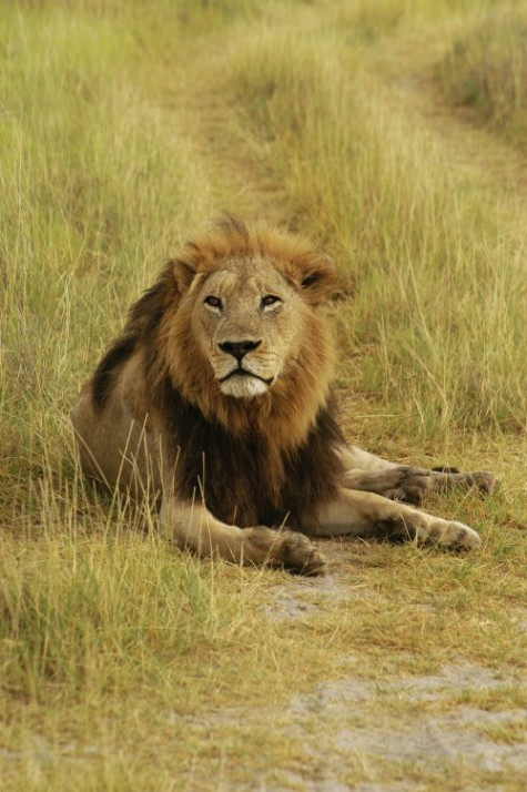 @Glowimages: Lion (Panthera leo) sitting in a path, Okavango Delta, Botswana